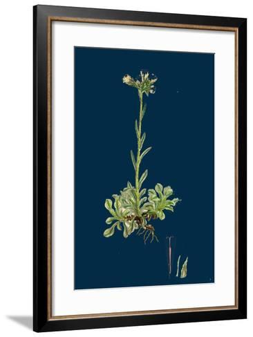 Verbascum Nigro-Lychnitis; Hybrid Between Dark and White Mulleins--Framed Art Print
