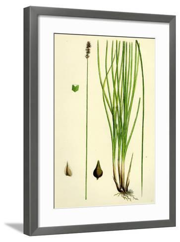 Carex Teretiuscula Var. Ehrhartiana Lesser Panicled Sedge Var. B--Framed Art Print