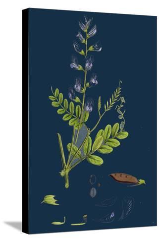 Polygonum Lapathifolium, Var. Genuinum; Glandular Persicaria, Var. A--Stretched Canvas Print