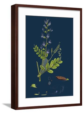 Polygonum Lapathifolium, Var. Genuinum; Glandular Persicaria, Var. A--Framed Art Print