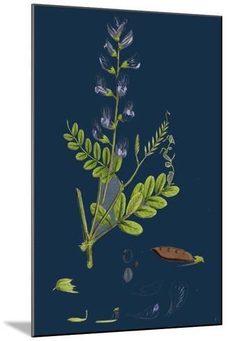 Polygonum Lapathifolium, Var. Genuinum; Glandular Persicaria, Var. A--Mounted Giclee Print