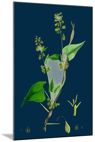 Petasites Vulgaris; Common Butter-Bur, Sub-Male--Mounted Giclee Print
