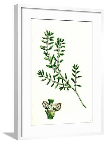 Polygonum Aviculare Arenastrum Common Knot-Grass--Framed Art Print