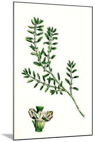 Polygonum Aviculare Arenastrum Common Knot-Grass--Mounted Giclee Print