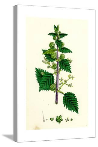 Urtica Pilulifera Var. Genuina Roman Nettle Var. A--Stretched Canvas Print