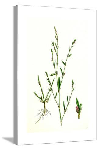Polygonum Aviculare Rurivagum Common Knot-Grass--Stretched Canvas Print