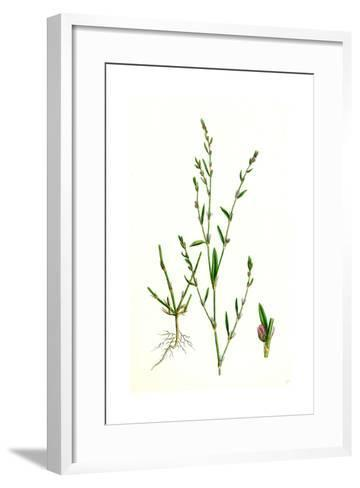 Polygonum Aviculare Rurivagum Common Knot-Grass--Framed Art Print