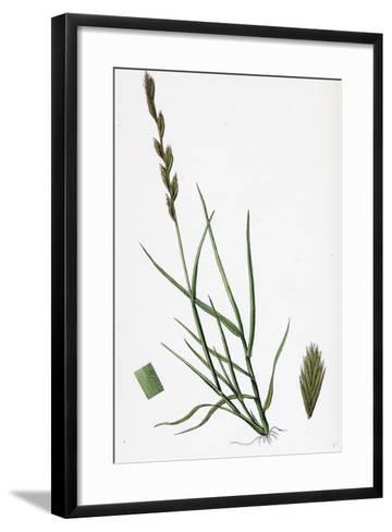 Triticum Acutum Decumbent Sea Couch-Grass--Framed Art Print