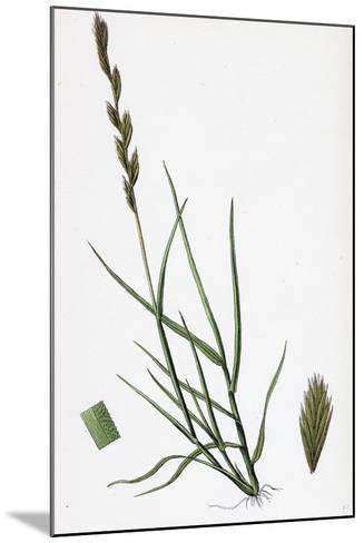 Triticum Acutum Decumbent Sea Couch-Grass--Mounted Giclee Print