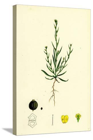 Bupleurum Tenuissimum Slender Hare's-Ear--Stretched Canvas Print
