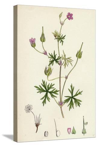 Geranium Columbinum Long-Stalked Crane'S-Bill--Stretched Canvas Print