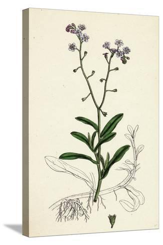 Myosotis Palustris Great Water Forget-Me-Not--Stretched Canvas Print