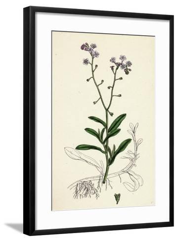 Myosotis Palustris Great Water Forget-Me-Not--Framed Art Print