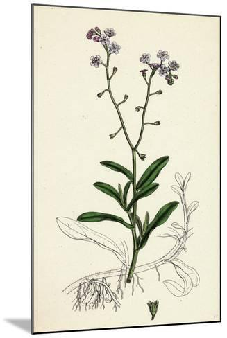 Myosotis Palustris Great Water Forget-Me-Not--Mounted Giclee Print