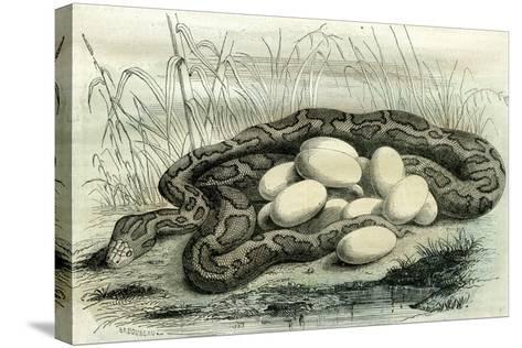 Python Paris Museum, France, 19th Century--Stretched Canvas Print
