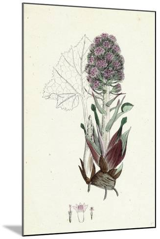 Petasites Vulgaris Common Butter-Bur Sub-Male--Mounted Giclee Print