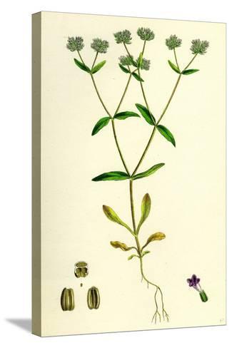 Valerianella Carinata Carinated Lamb's-Lettuce--Stretched Canvas Print