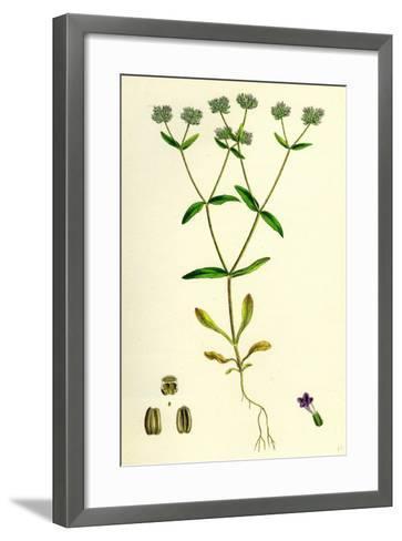 Valerianella Carinata Carinated Lamb's-Lettuce--Framed Art Print