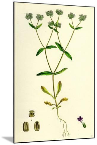 Valerianella Carinata Carinated Lamb's-Lettuce--Mounted Giclee Print