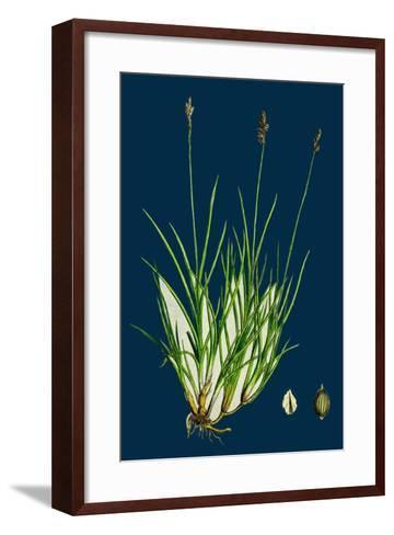 Anthyllis Vulneraria; Common Kidney Vetch--Framed Art Print