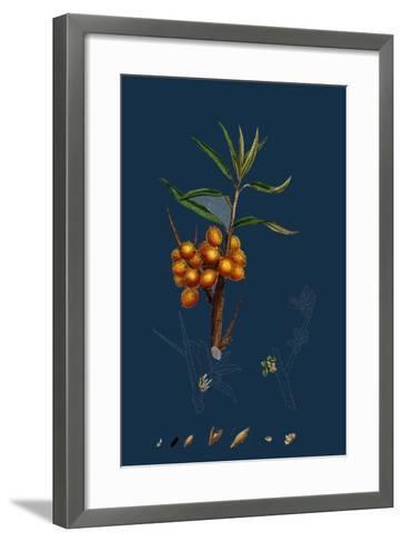 Astragalus Glycyphyllus; Sweet Milk-Vetch--Framed Art Print