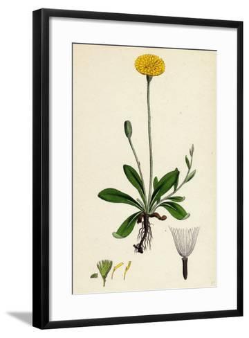 Hieracium Pilosella Mouse-Ear Hawkweed--Framed Art Print