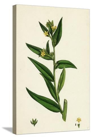 Lithospermum Officinale Common Growmwell--Stretched Canvas Print