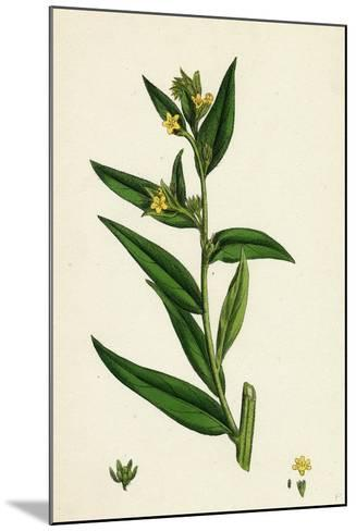 Lithospermum Officinale Common Growmwell--Mounted Giclee Print