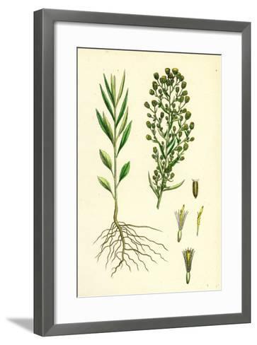 Erigeron Canadensis Canadian Fleabane--Framed Art Print