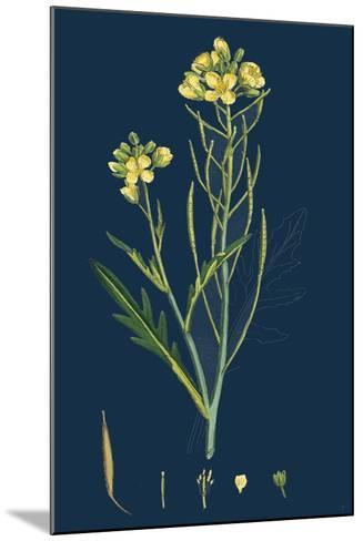 Digitaria Humifusa; Glabrous Finger-Grass--Mounted Giclee Print