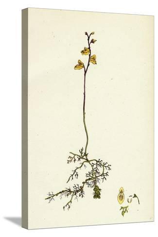 Utricularia Minor Lesser Bladderwort--Stretched Canvas Print