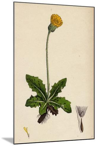 Hypochoeris Maculata Spotted Cat's-Ear--Mounted Giclee Print