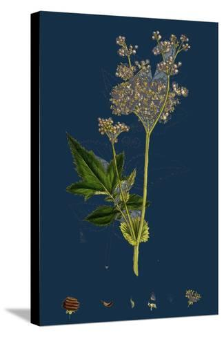 Galium Elatum; Common Great Bedstraw--Stretched Canvas Print