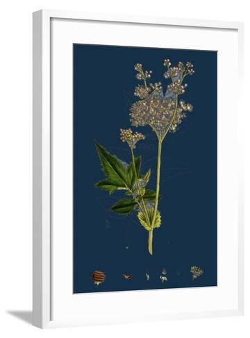 Galium Elatum; Common Great Bedstraw--Framed Art Print