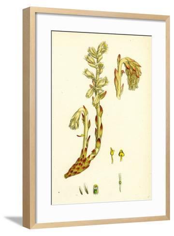 Monotropa Hypopitys Yellow Bird's-Nest--Framed Art Print