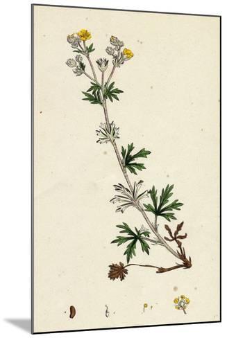 Potentilla Argentea Hoary Cinquefoil--Mounted Giclee Print