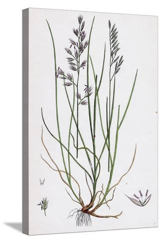 Festuca Duriuscula Hard Fescue-Grass--Stretched Canvas Print