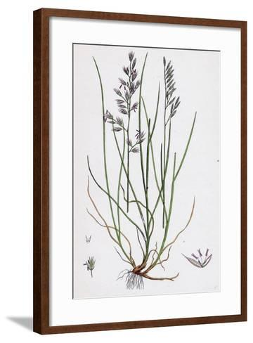 Festuca Duriuscula Hard Fescue-Grass--Framed Art Print