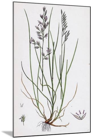 Festuca Duriuscula Hard Fescue-Grass--Mounted Giclee Print