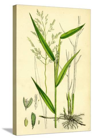 Leersia Oryzoides European Cut-Grass--Stretched Canvas Print