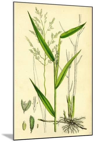 Leersia Oryzoides European Cut-Grass--Mounted Giclee Print