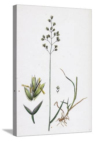 Poa Balfourii Balfour's Meadow-Grass--Stretched Canvas Print