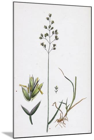 Poa Balfourii Balfour's Meadow-Grass--Mounted Giclee Print