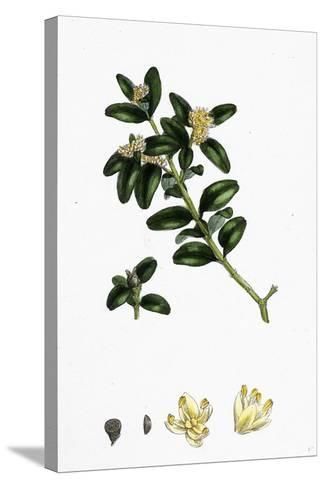 Buxus Sempervirens Common Box--Stretched Canvas Print