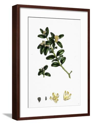 Buxus Sempervirens Common Box--Framed Art Print