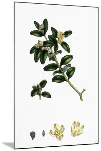 Buxus Sempervirens Common Box--Mounted Giclee Print