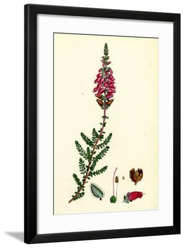 Erica Ciliaris Fringed-Leaved Heath--Framed Art Print