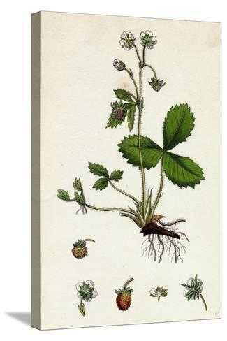 Fragaria Vesca Wild Strawberry--Stretched Canvas Print