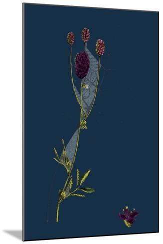 Rosa Mollissima; Soft-Leaved Rose--Mounted Giclee Print