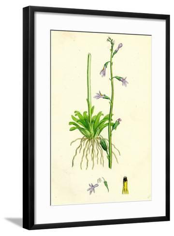 Lobelia Dortmanna Water Lobelia--Framed Art Print
